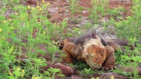 Het Landleguaan van de Galapagos het eten bloeit op het eiland van het Noordenseymour, het Nationale Park van de Galapagos, Ecuad