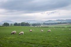 Het landschap en de weiden van Schotland met schapen Stock Fotografie