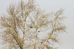 Het landschap met een naakte boom in de vroege lente en de vogels zijn roeken Royalty-vrije Stock Afbeelding