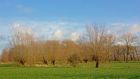 Het landschap met Groene weide met acerbomen en pollarded wilgen in Vlaanderen stock fotografie