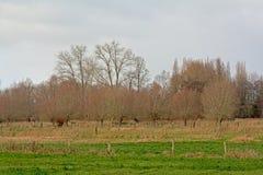 Het landschap met Groene weiden met acerbomen en pollarded wilgen in Vlaanderen stock afbeelding