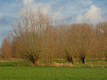Het landschap met Groene weiden en pollarded wilgen in Vlaanderen royalty-vrije stock afbeeldingen