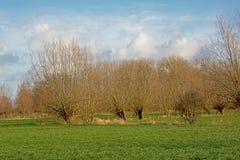 Het landschap met Groene weiden en pollarded wilgen in Vlaanderen stock afbeelding