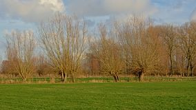 Het landschap met Groene weiden met pollarded wilgen acer bomen en in Vlaanderen stock fotografie