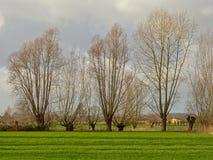 Het landschap met Groene weiden pollarded wilgen in Vlaanderen stock foto's