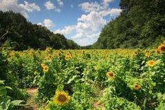 Het Landschap Poolesville Maryland van het Gebied van de zonnebloem Royalty-vrije Stock Afbeelding