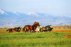 Het landschap van bergen met kudde van paarden Stock Afbeeldingen