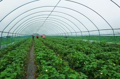 Het landschap van de aardbeiaanplanting in serre stock fotografie