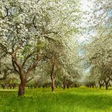 Het Landschap van de aardlente met tot bloei komende Apple-tuin Royalty-vrije Stock Foto's