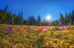 Het landschap van de de lenteberg met lange sparren en weidebloemen van c Stock Fotografie