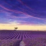 Het landschap van de de Zomerzonsondergang van het lavendelgebied Stock Afbeeldingen
