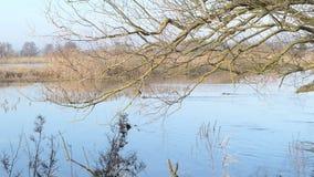 Het landschap van de Havelrivier in Brandenburg Duitsland Coypu die over de rivier zwemmen stock video
