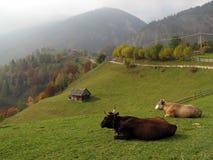 Het landschap van de herfst met koeien Royalty-vrije Stock Foto's