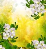 Het landschap van de lente Bloeiende peer Stock Foto's