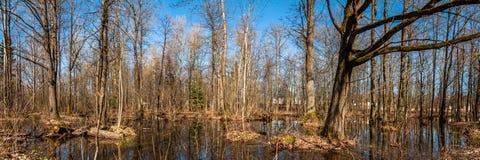 Het landschap van de lente Panorama van een bebost moerasland Overstroomd Bos stock foto