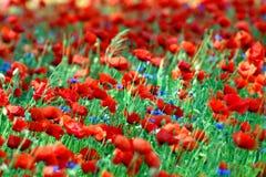Het landschap van de lente - rode papavers Royalty-vrije Stock Afbeeldingen