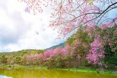 Het landschap van de roze bloem van de Kersenbloesem of Sakura bloeit met meer in Khun Wang Royal Project in Chiang Mai, Thailand Stock Foto's