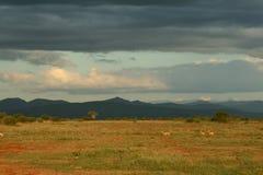 Het landschap van de savanne met impala royalty-vrije stock afbeelding