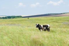 Het landschap van de steppe met een koe Stock Fotografie