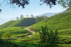 Het landschap van de theeaanplanting stock afbeeldingen