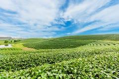 Het landschap van de theeaanplanting op blauwe hemel royalty-vrije stock afbeeldingen