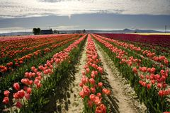 Het Landschap van de tulp Stock Foto