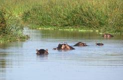 Het landschap van de waterkant met sommige hippos Royalty-vrije Stock Afbeeldingen