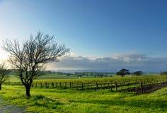 Het Landschap van de wijngaard Stock Fotografie