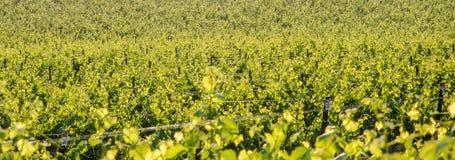 Het landschap van de wijngaard Stock Foto
