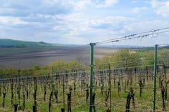 Het landschap van de wijngaard Wijngaardrijen van wijnstokken zichtbaar op de achtergrond stock foto's