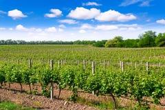 Het landschap van de wijngaardlente Stock Afbeeldingen