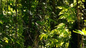 Het landschap van de wildernis Het exotische hout van Azië Bemoste lianas die van de regenwoudluifel bengelen Groene natuurlijke  stock footage