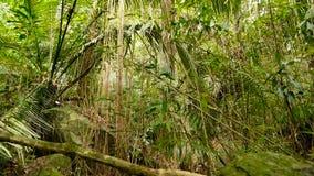 Het landschap van de wildernis Het exotische hout van Azië Bemoste lianas die van de regenwoudluifel bengelen Groene natuurlijke  stock videobeelden