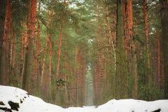 Het landschap van de winter Het hout van de pijnboomwinter Bevroren bos Stock Afbeeldingen