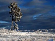 Het landschap van de winter met pijnboom Stock Afbeelding