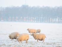 Het landschap van de winter met schapen Royalty-vrije Stock Fotografie