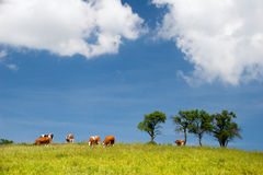 Het landschap van de zomer met koeien Royalty-vrije Stock Afbeeldingen