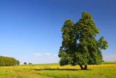 Het landschap van de zomer met lindeboom royalty-vrije stock fotografie