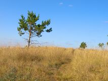 Het landschap van de zomer met pijnbomen Royalty-vrije Stock Fotografie