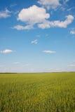 Het landschap van de zomer. tarwe gebied Royalty-vrije Stock Afbeeldingen