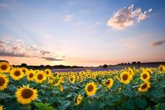 Het landschap van de Zonsondergang van de Zomer van de zonnebloem met blauwe hemelen Stock Foto's