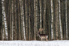 Het Landschap van het de winterwild met Volwassen Damhert dat zich op de Sneeuw tegen de Achtergrond van een Berkbos een Mannetje stock afbeeldingen