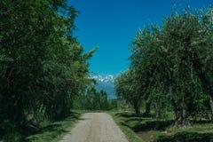 Het landschap van het land in Mendoza Argentinië met Olijven en van de Andes Mou Stock Afbeeldingen