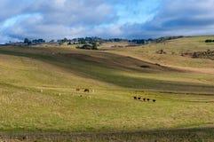 Het landschap van het landbouwbinnenland met landbouwbedrijfdieren op zonnige dag Stock Afbeelding