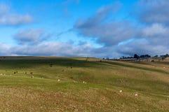 Het landschap van het landbouwbinnenland met landbouwbedrijfdieren op zonnige dag Royalty-vrije Stock Foto's