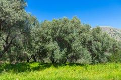 Het landschap van het olijfbomenbosje in het Mediterrane Eiland Kreta, Griekenland Royalty-vrije Stock Afbeeldingen