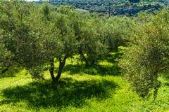 Het landschap van het olijfbomenbosje in het Mediterrane Eiland Kreta, Griekenland Royalty-vrije Stock Afbeelding