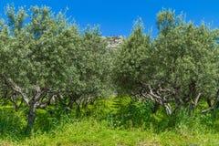 Het landschap van het olijfbomenbosje in het Mediterrane Eiland Kreta, Griekenland Stock Foto's