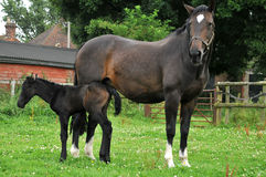 Het landschap van het paard en van het veulen Royalty-vrije Stock Afbeeldingen