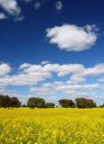 Het Landschap van het raapzaad Stock Foto's